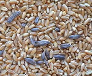 What_Happened_to_Wheat_in_Egypt
